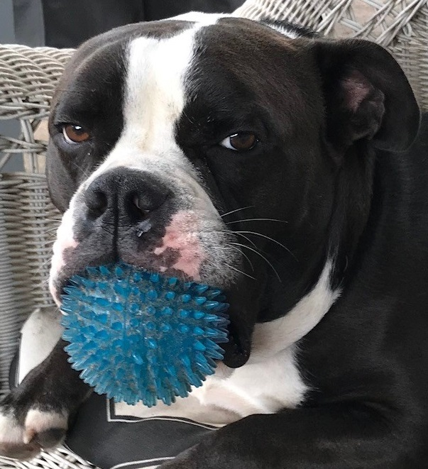 Black and white Old English Bulldog with a spiked rubber ball in his mouth